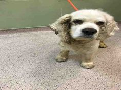 SUPER URGENT Manhattan Center BLINKY – A1108525 MALE, WHITE, COCKER SPAN MIX, 10 yrs STRAY – ONHOLDHERE, HOLD FOR OWNER DIED Reason OWNER DIED Intake condition GERIATRIC Intake Date 04/10/2017