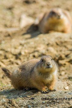 Robert SKREINER: Prairie Dogs (genus Cynomys) - Präriehund Chien d...
