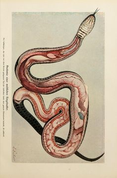 The anatomy of a snake.