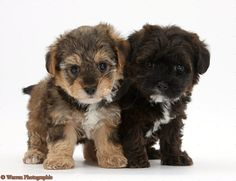 Real Animals Lover Will Love These Dog Crossbreeds Yorkie Poo Puppies, Cute Puppies, Cute Dogs, Dogs And Puppies, Doggies, Animals And Pets, Baby Animals, Funny Animals, Cute Animals