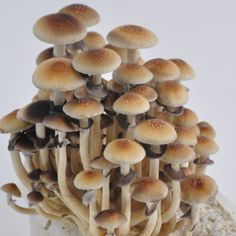 The Golden Teacher psilocybe cubensis is avialable in: Spore Syringe, Spore vial and Spore print (prints on request only) Psilocybin Mushroom, Stuffed Mushroom Caps, Stuffed Mushrooms, Wild Mushrooms, Growing Mushrooms At Home, Mushroom Art, Mushroom Spores For Sale, Mushroom Tattoos, Mushrooms