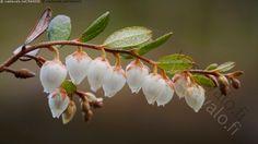 Vaivero kukkii - vaivero kevät suo varpukasvi suokasvi kellokukka varpu oksa
