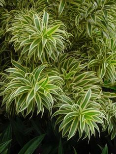 Folhas de Pleomele