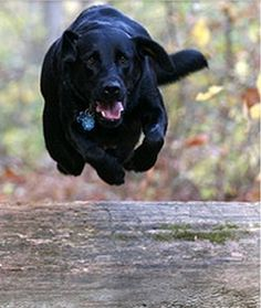 Great to Watch 23 Pictures of Labrador Retrievers in Action | Labradors Semper Fidelis