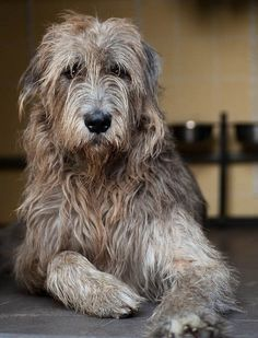 "My Irish Wolfhound ""Big Ben"" , they only live 7 years , but a real privilege to have had one of these magical animals ."