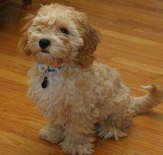 Conoce al cava-poo-chon: el perro que no envejece http://www.mascotadomestica.com/adriestramiento-perros/perros-de-muestra/que-perro-no-envejece.html