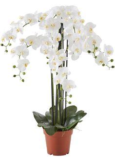 Kunstblume Orchidee XXL weiß - bpc living jetzt im Online Shop von bonprix.de ab € 149,99 bestellen. Diese naturgetreue Orchidee mit stolzen 7 Rispen im XXL ...