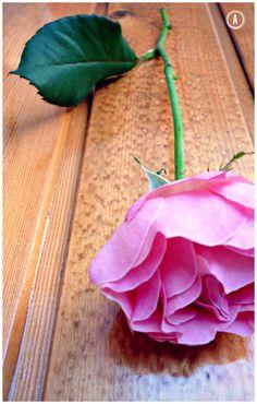 Beautiful selvatic rose.