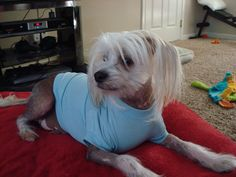 Chinese Crested  Raphael