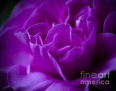 Title:  Purple Beauty   Artist:  Ron Roberts   Medium:  Photograph - Photography