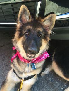 Laz, Shilo Shepard puppy