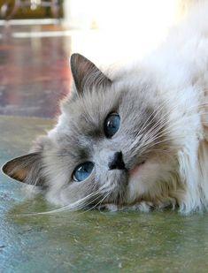 Кошки породы рэгдолл. Обсуждение на LiveInternet - Российский Сервис Онлайн-Дневников