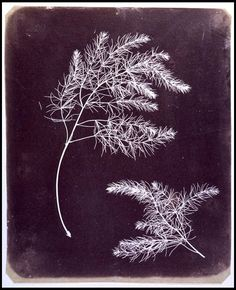 William Henry Fox TALBOT - Asparagus Foliage, early 1840s.