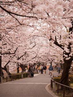 Love the tree lined walk way in Sakura in Ueno Park, Tokyo, Japan.