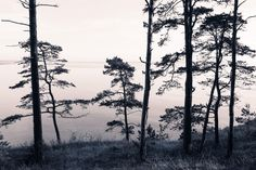 A peaceful photo wallpaper depicting courageous pine trees overlooking the ocean - Old Pine Trees | R13021 | Wall murals - Wallpaper | Rebel Walls