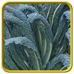 Kale Seeds - 'Lacinato'