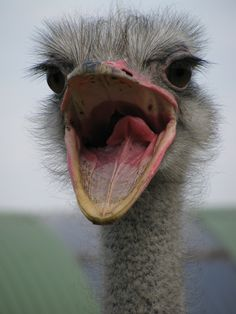 An ostrich welcome ! To Celine who loves them so much my bff Nature Animals, Baby Animals, Funny Animals, Cute Animals, Baby Ostrich, The Ostrich, Ostrich Bird, Scary Birds, Camelus