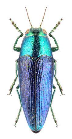 Sphaenoptera beckeri
