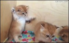 KITTEN GIF • Adorable Kitty gently ties to catch brother tail but fails. Poor baby ♥