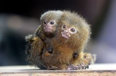 PYGMY MARMOSET Native to the Amazon Basin, the pygmy marmoset is the smallest monkey in the world — weighing just over 3.5 ounces (100 grams). The animal has a specialized diet of tree gum.