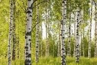 Birch forest. These are the right sort of colours.