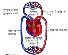 Knowledge Hub: मानव रक्त परिसंचरण तंत्र ( Blood Circulatory Syste... Circulatory System, Blood, Knowledge, Consciousness, Facts