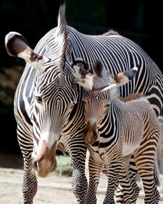 Zebra Mother with Baby