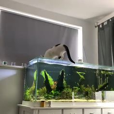 All credit to @scaperz on instagram as the owner of this content. Big Cats, Cute Cats, Amazing Aquariums, Cat Drinking, Cute Baby Animals, Fish Tank, Fresh Water, Cute Babies, Aquascaping