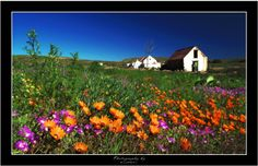 To stroll through the Namaqua Flowers in South Africa Out Of Africa, My Land, Live, West Coast, Wild Flowers, Places To See, South Africa, Things To Do, National Parks