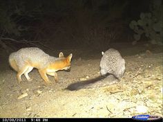 Gray Fox | Saguaro Wildlife Cameras