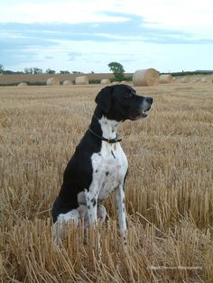 Waiting - A rare moment, our English Pointer sitting still!