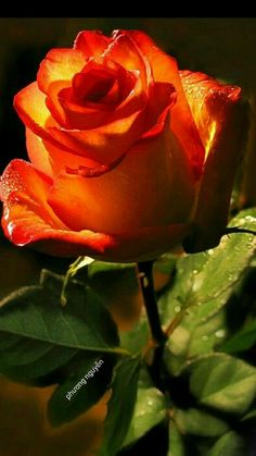 Source: something to say# flowers Pretty Roses, Beautiful Roses, All Flowers, Exotic Flowers, Flowers Nature, Lavender Roses, Red Roses, Orange Rosen, Love Rose