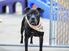 REBEL - A1096746 - - Brooklyn  Please Share:TO BE DESTROYED 11/28/2016 **PUBLICLY ADOPTABLE** -  Click for info & Current Status: http://nycdogs.urgentpodr.org/rebel-a1096746/