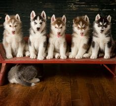 #Husky #puppies. Looks like one is camera shy!