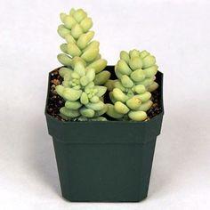Sedum morganianum - Burrito - Mountain Crest Gardens