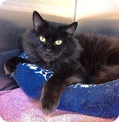 New Kent, VA - Domestic Longhair. Meet Shadow, a cat for adoption. http://www.adoptapet.com/pet/16518339-new-kent-virginia-cat