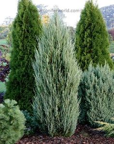 A narrowly columnar plant with blue-green folia… - Modern Privacy Plants, Privacy Landscaping, Outdoor Landscaping, Outdoor Plants, Front Yard Landscaping, Outdoor Gardens, Privacy Trees, Landscaping Ideas, Arborvitae Landscaping
