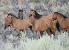 Kiger Mustangs, wild horses - Steens Mountains in Oregon, USA!!