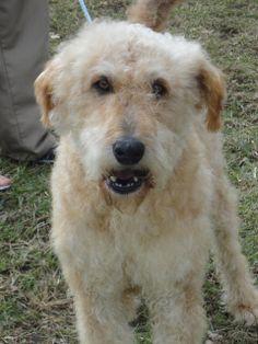 2/24/14: Petfinder  Adoptable | Dog | Labrador Retriever | Winchester, KY | Otis