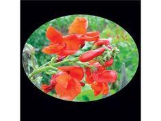 Scarlet Runner Bean | Baker Creek Heirloom Seed Co