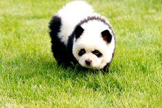 It's a panda-dog