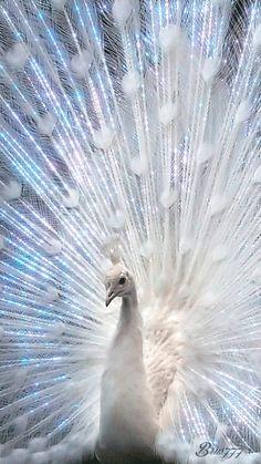 Pavone bianco animato