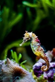 Gorgeous sea horse! Love the colors!