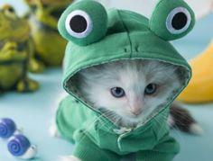 Rag Doll Cat Kittens Rag Doll Kitten and Rainy Season:スマホ壁紙 Cute Little Kittens, Kittens Cutest, Cats And Kittens, Kitty Cats, Ragdoll Cats, Kitten Costumes, Funny Animals, Cute Animals, Soft Kitty Warm Kitty