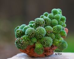 Monanthes polyphylla | par ktvamp