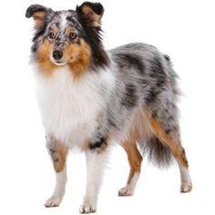 Shetland Sheepdog-Smooth Coat