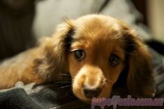 Mini Long Hair Dachshunds
