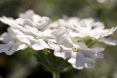 White Phlox Up Close by Cynthia Woods