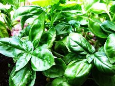 10 tips for growing basil
