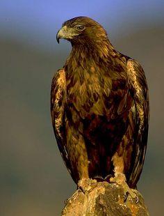 http://listverse.wpengine.netdna-cdn.com/wp-content/uploads/2010/04/golden_eagle_lg.jpg